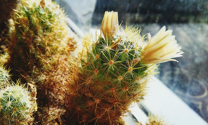 Plant Nature Growth No People Beauty In Nature Close-up Succulent Plant Cactus Day Flower Water Flowering Plant Outdoors Focus On Foreground Pinaceae Grass Green Color Springtime Thorn Coniferous Tree