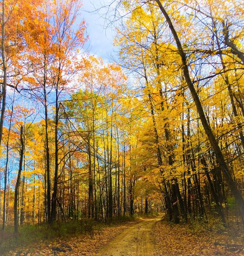 Tree Trees Autumn Colors Yellow Autumn Fall Fall Beauty Forest Woods Dirt Road Two Tracks No People Scenics Tranquil Scene Growth Tranquility Beauty In Nature Sunlight Nature Autumn 2015 Michigan Puremichigan