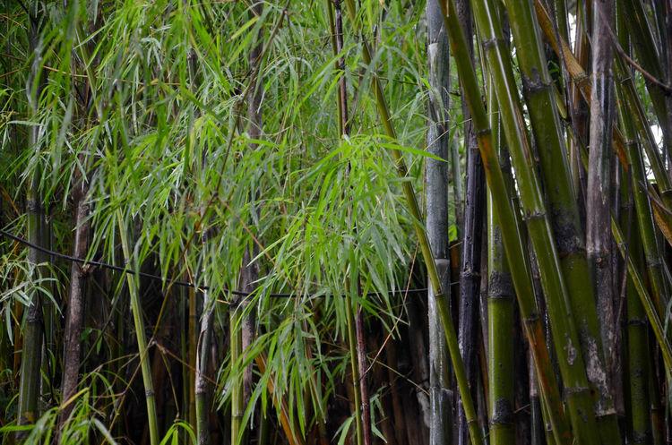 No People Outdoors Day Bali Safari & Marine Park Bali, Indonesia Lush Foliage Green Growth Bamboo Forest Bamboo Leaf Bamboo Shoots Bamboo Grove Bamboo