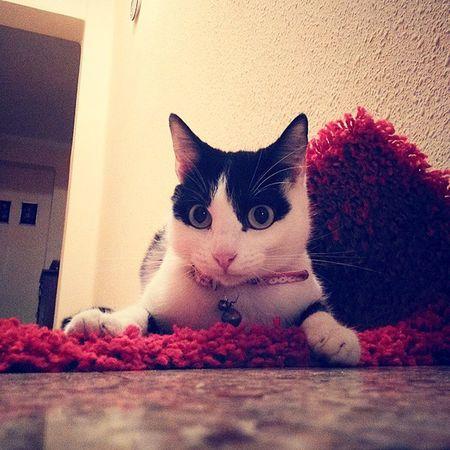 Mi Francheska jugando en mi Alfombra Alfombra Roja Red Instagram Valencia Instalove Cat Lovely Statigram Testagram photooftheday westagram iphonesia Valenciagrafia ilovemycat Ig_Spain España igers