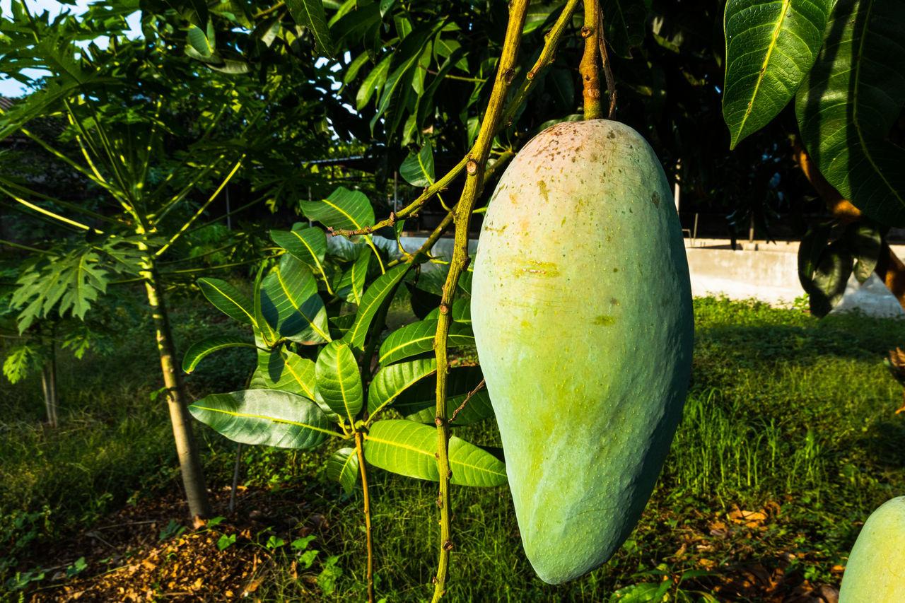 CLOSE-UP OF FRESH GREEN FRUIT TREE