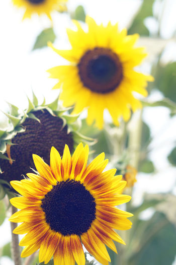 girasol #flor #amarillo #sunflower flower yellow Girasoleeeeee... Pollen Fragility Flower Sunflower Close-up Outdoors Beauty No People Pistil Day