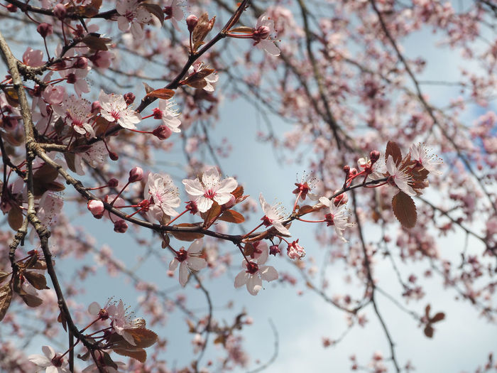 Low Angle View Of Cherry Blossoms Blooming Against Sky