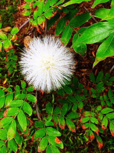 Powder Puff Rust Colored Leave Red On Green Garden Photography Forest Photography In Bloom White Stamens Flower Ball White Flower Flower Growth Nature Plant Fragility Freshness Flower Head Beauty In Nature No People Outdoors Close-up Day