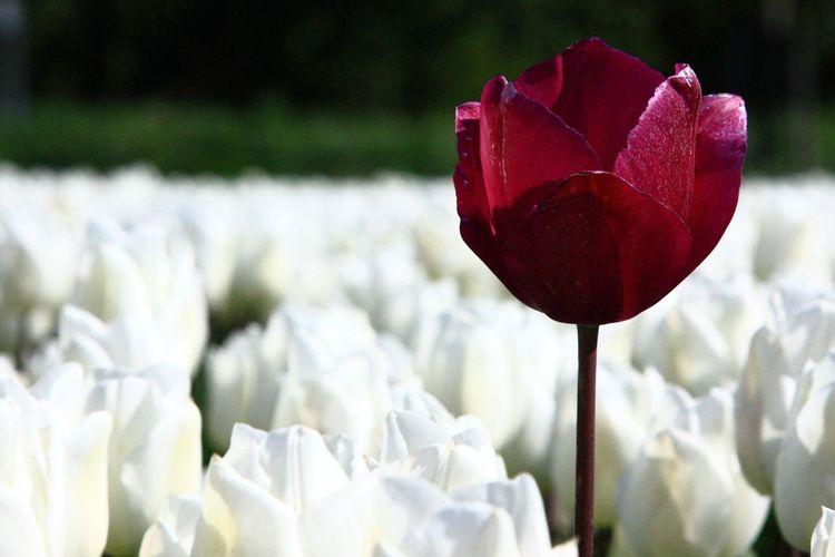 Tulip Tulips Tulips🌷 Tulipmania Tulipfields Landscape_photography Landscape_Collection Landscape Enjoying Life Taking Photos Flowers Flower Collection Relaxing Tulips Flowers Nature_collection Landscape_collection EyeEmNatureLover