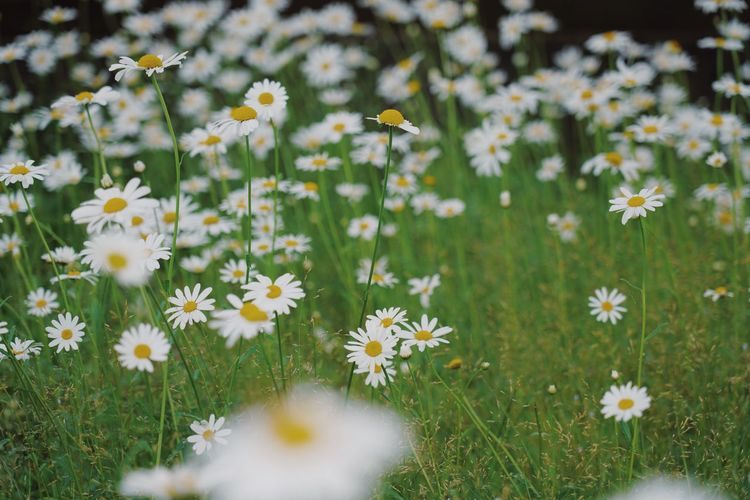 Processed with VSCO with au5 preset Flower Flowering Plant Plant Freshness Fragility Growth Vulnerability  Beauty In Nature Nature Field Flower Head Inflorescence Petal Daisy Yellow Land Selective Focus No People Close-up Outdoors Pollen