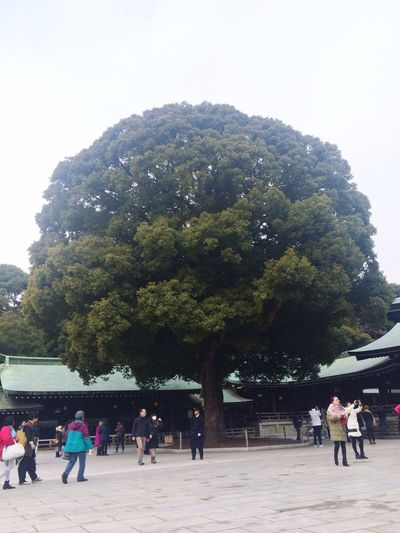 Meji shrine Mejishrine Japan Tokyo Bigtree Green