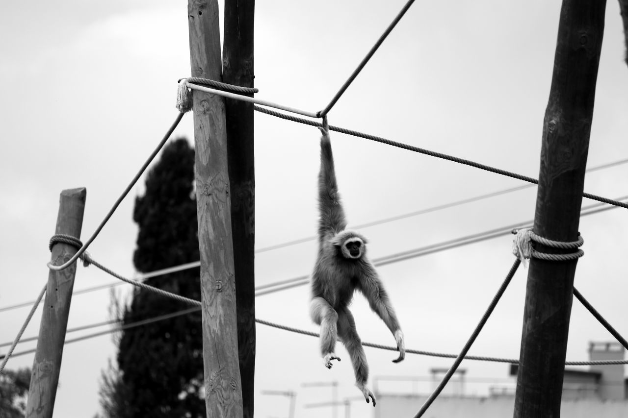 Low Angle View Of Gibbon Hanging From Rope Against Sky At Zoo