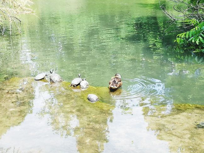 Water Swimming Reptile Bird Lake Alligator Floating On Water High Angle View Reflection Turtle Duckling Amphibian Sea Turtle Tortoise Tortoise Shell Mallard Duck Water Bird Medium Group Of Animals Duck Animal Shell Mandarin Duck