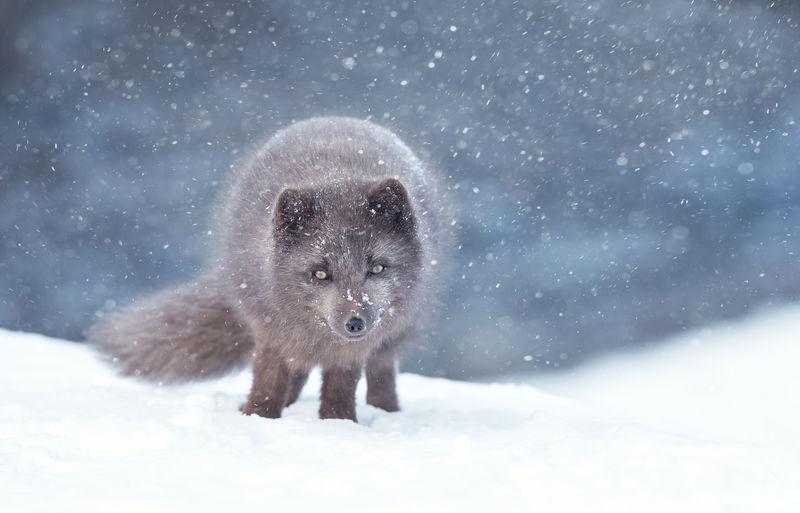 Portrait of arctic fox on snow