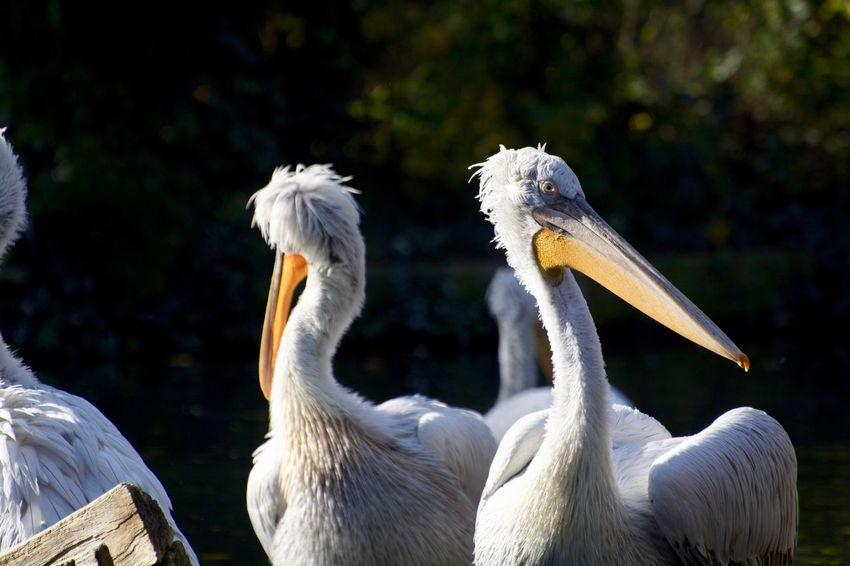 Animals In The Wild Animal Animal Body Part Animal Family Animal Neck Animal Photography Animal Themes Animal Wildlife Animals Animals In The Wild Beak Bird Close-up Cygnet Day Focus On Foreground Group Of Animals Nature No People Pelican Swan Two Animals Vertebrate Water White Color