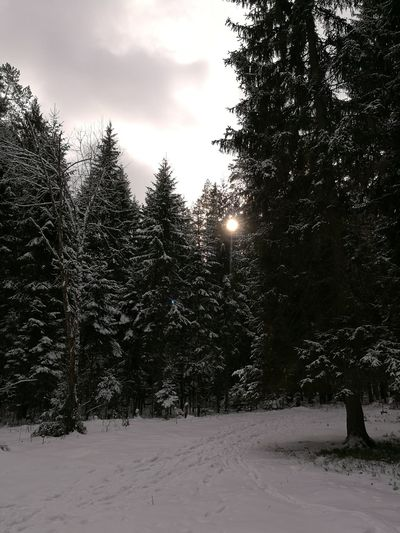 Ice Wood Winter Snow Tree Cold Temperature Pine Tree Pinaceae Forest Nature No People WoodLand Outdoors Beauty In Nature Snowing Day Snowflake Sky
