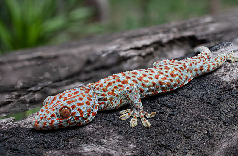 Tokay gecko clings into a tree on green blurred background