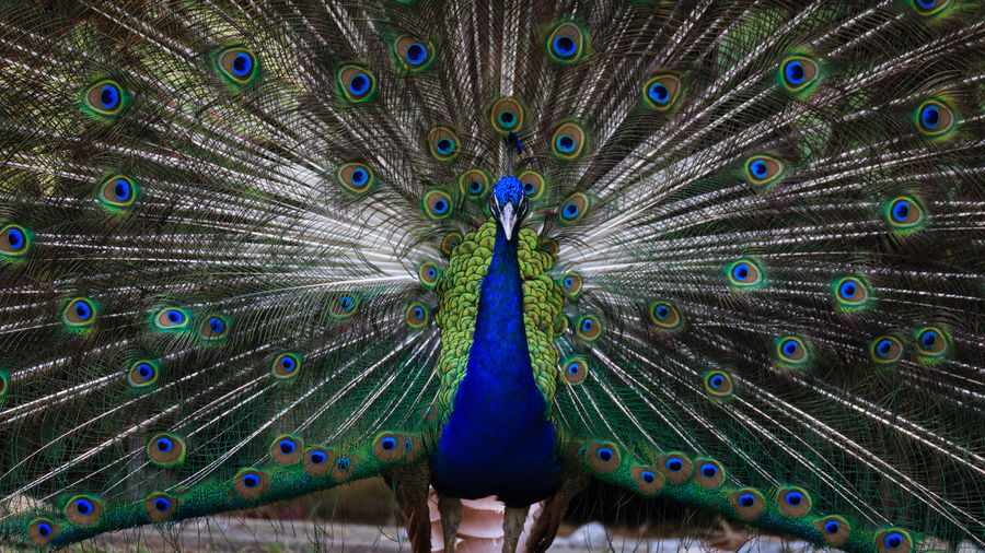 Close-Up Of Peacock Dancing