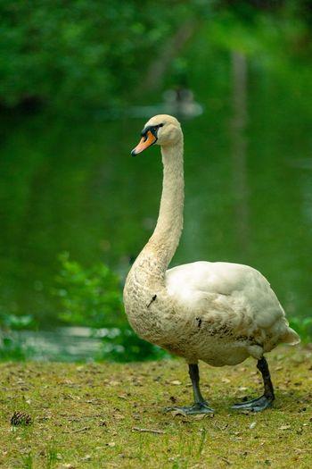 Swan Animal
