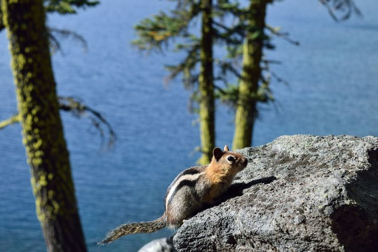 Wizard Island of Crater Lake, OR One Animal Animal Wildlife Animal Themes Animals In The Wild Rock Solid Animal Rock - Object Nature Water No People Vertebrate Day Mammal Focus On Foreground Tree Outdoors Squirrel Squirrel Closeup Blue Crater Lake Wizard Island