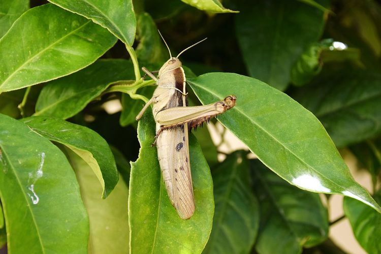 EyeEm Selects Insect Animals In The Wild Animal Wildlife Green Color Close-up Invertebrate Outdoors Plant Part Selective Focus Beauty In Nature Nature One Animal Animal Themes Grasshopper Branch Plant Leaft