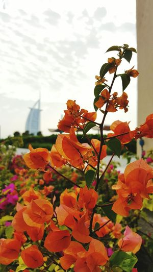 Flower Plant Blossom Focus On Foreground Battle Of The Cities Architecture Burj Al Arab Dubai 7stars Hotel Macro Leaf Close-up Flower Head Wonders Of The World Burjalarabhotel TakeoverContrast