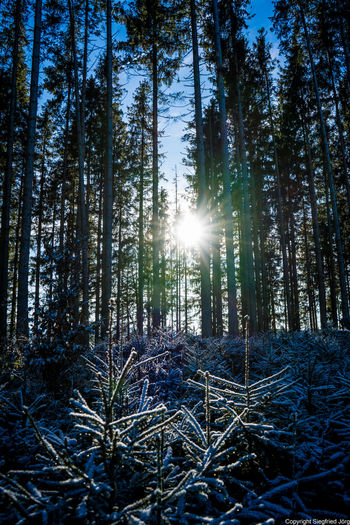 Sunlight streaming through pine trees in forest against bright sun