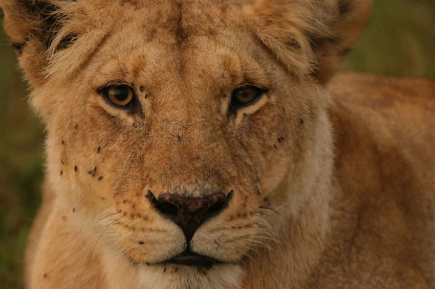 Female Lion Face Animal Themes Animal Wildlife Animals In The Wild Close-up Day Focus On Foreground Lion - Feline Lioness Looking At Camera Mammal Nature No People One Animal Outdoors Portrait Safari Animals