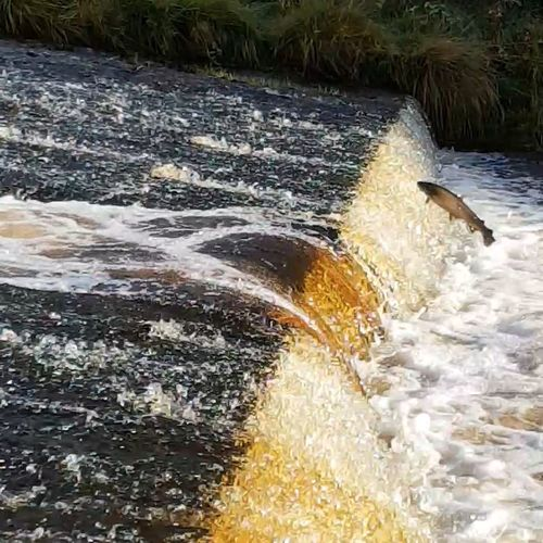 from today's salmon watch. Just up the road from the house. I love watching them. Salmon Scottish Borders Scotland Fish River Flowing Water Splashing Power In Nature Waterfall Rushing Flowing Stream - Flowing Water Rapid