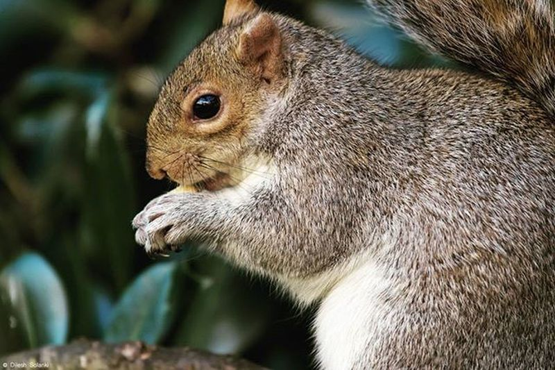 Munching on deez nuts Squirrel Squirrels Squirrelsofinstagram Squirrelsquad Photography Photooftheday Canonuk Canon Canonphotography Canon7dMK2 Canonlens Canonlenses 70200mm Canon70200 Stjames Stjamespark London Nature Nut Nuts Deeznuts