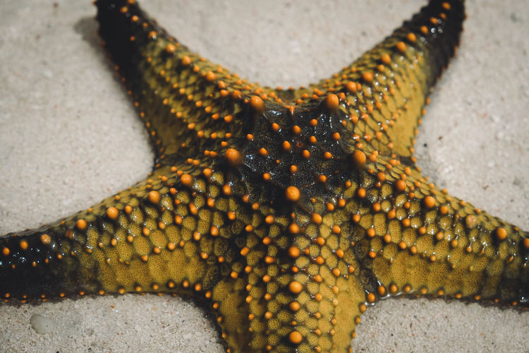 Yellow starfish on white sand. Paint The Town Yellow Animal Markings Animal Themes Animal Wildlife Animals In The Wild Beach Close-up Day High Angle View Nature No People One Animal Outdoors Sand Sea Life Starfish  UnderSea