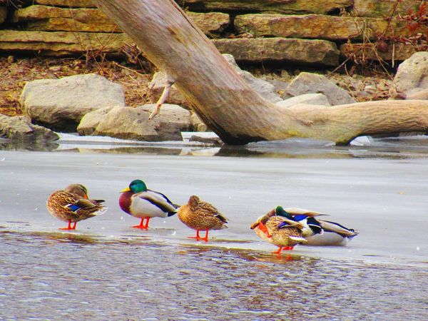 DUCKS ON ICY PATCH OF RIVEREyeEm Selects Bird Animals In The Wild Animal Wildlife Animal Themes Water No People Nature Outdoors Day Beauty In Nature Winter Ice On River Ducks Mallards Fox River Sky Wood River Trees And Nature Shades Of Winter