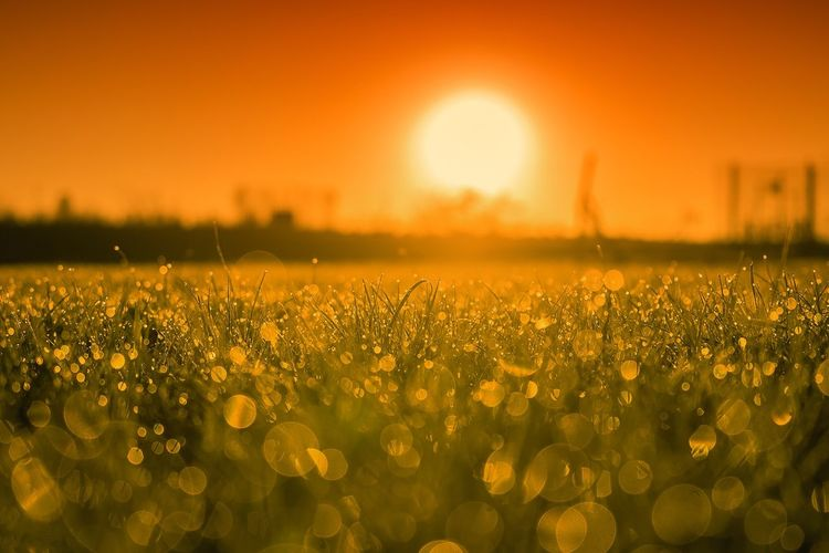 Close-up of oilseed rape field against sky during sunset