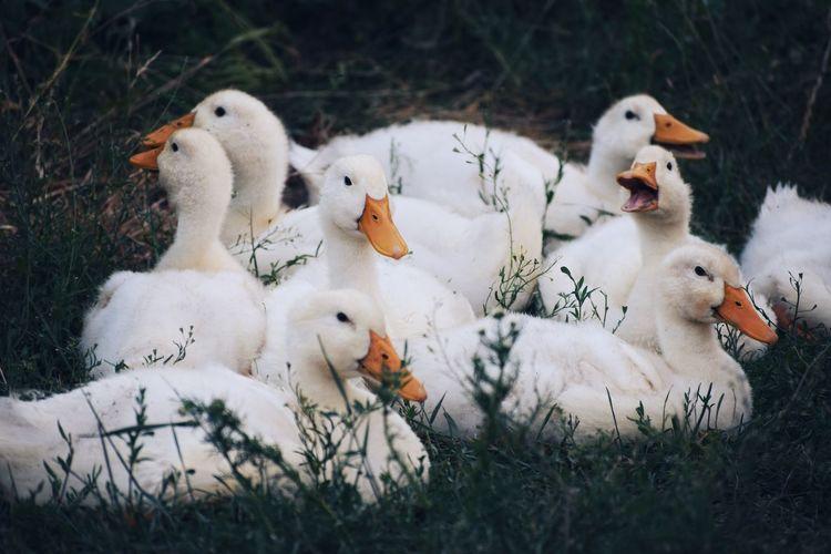 View of ducks on field