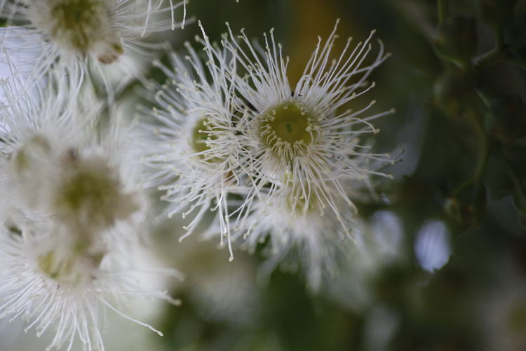 White eucalyptus tree blossom, Port Stephens, NSW, Australia Australia Australian Native Tree Beauty In Nature Close-up Dandelion Dandelion Seed Day Eucalyptus Eucalyptus Tree Flower Flower Head Flowering Plant Focus On Foreground Fragility Freshness Growth Inflorescence Nature No People Outdoors Petal Plant Pollen Selective Focus Softness Vulnerability  White Color
