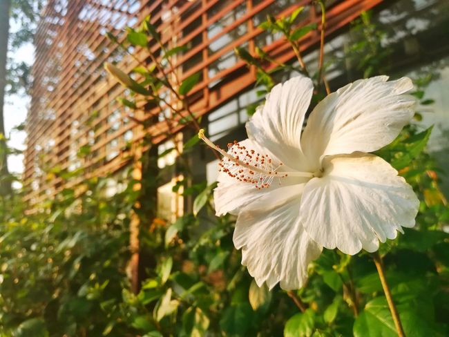 Flower Fragility Petal Flower Head Plant Close-up Nature Blossom Day No People Growth Beauty In Nature Outdoors Freshness Hibiscus Tree Copy Space Garden Botanical Gardens
