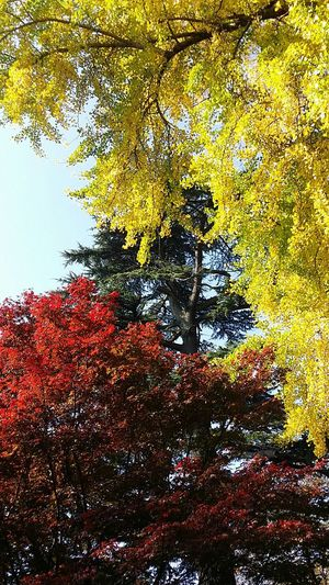 Ginkgo and Maple are awesome by themselves but even more awesome together Shinjuku Gyoen National Garden Tokyo Tokyoautumn Japanautumn Tokyoautumn2016 TokyoNov2016 Japan
