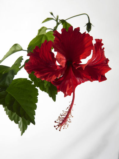 malaysia national flower bunga raya or hibiscus Hibiscus Rosa-sinensis Natural Nature Beauty In Nature Bunga Raya Close-up Flora Flower Flower Head Flowering Plant Fragility Freshness Hibiscus National Flower Nature No People Ornamental Plant Petal Plant Pollen Red Tropical Vulnerability