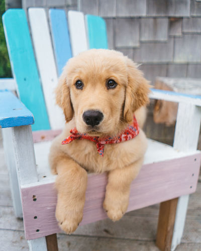 Golden Retriever Dog Canine Pets One Animal Domestic Mammal Domestic Animals Portrait Looking At Camera Vertebrate No People Seat Wood - Material Focus On Foreground Day Relaxation Sitting Looking At Camera Puppy Sitting Young Animal Cute