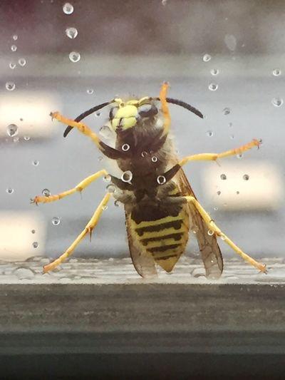 Ich denke, es ist ihr zu nass, sie will rein😳 Wespe Draußen Am Fenster Animal Themes Window Insect Photography EyeEm Selects Daswasichsehe😊