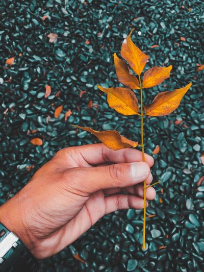 Cropped hand of person holding dry plant during autumn