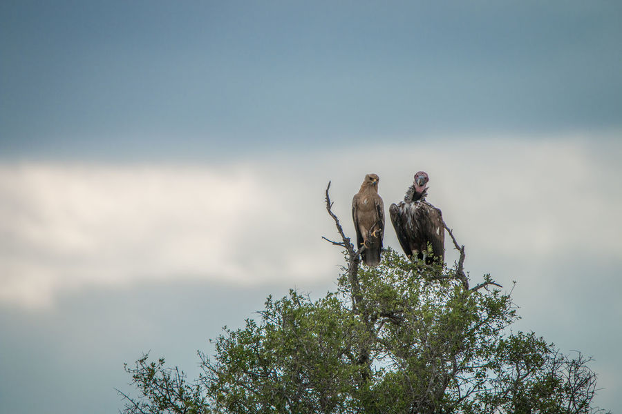 Brother from another mother! Bird Photography Birding Birds Of EyeEm  Eagle Nature Nature Photography Tawny Eagle  Travel Traveling Wildlife Photography Wildlife Photos Africa Animal Photography Animal Themes Animal Wildlife Animals Beauty In Nature Bird Birds Birds_collection Lappet-faced Vulture Safari Safari Animals Vulture Wildlife