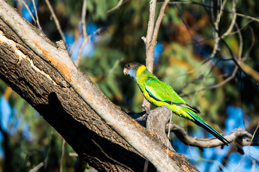 Australian Ringneck Gazisonit Animal Themes Animal Wildlife Animals In The Wild Beauty In Nature Bird Branch Close-up Day Focus On Foreground Green Color Nature No People One Animal Outdoors Perching Tree