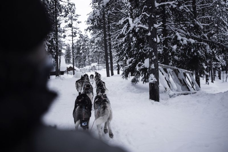 Dogsledding On Snowy Field Amidst Bare Trees