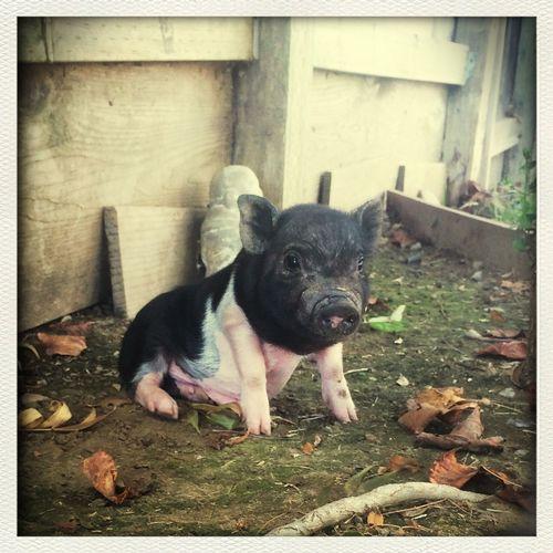 Baby Charlie?? Minipig Pig Piglet BabyPig