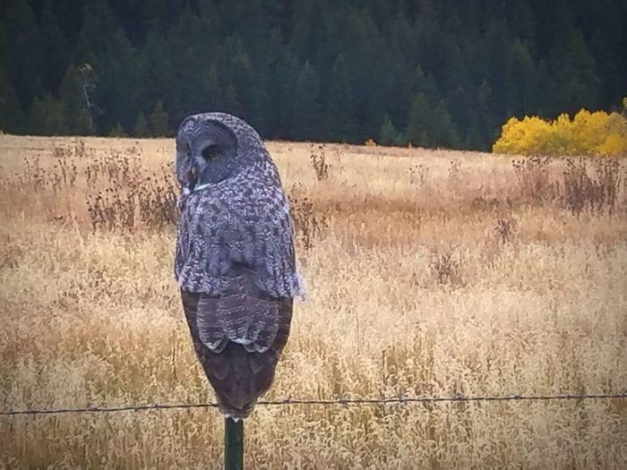 Greyowl Montanamoment Bird Owl Perching Yellow Eyes