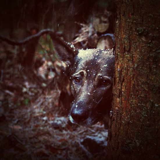 I Love My Dog German Shepherd Cute Pets In The Forrest