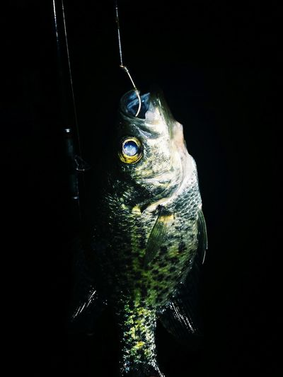 Fish Bass #fish #bass Fishing #fishing Black Background Portrait Looking At Camera Headshot Studio Shot Close-up Eye Animal Eye Yellow Eyes