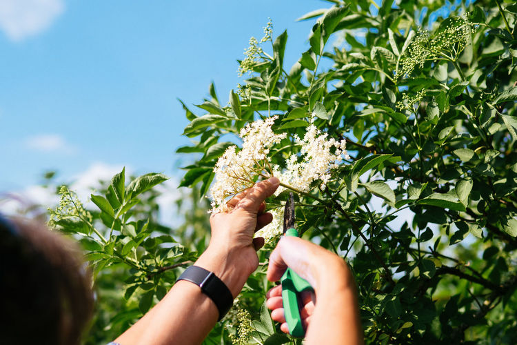Cropped hand of woman pruning elderberry flowers against sky