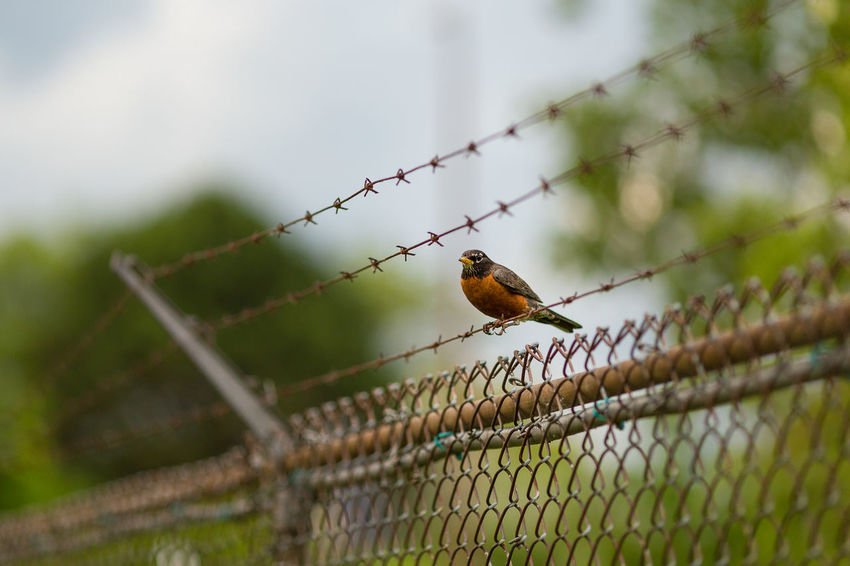 Animal Wildlife One Animal Barbed Wire Animals In The Wild Trapped Animal Themes Cage Outdoors Day Bird Nature No People Perching Confined Space Close-up American Robin Fence