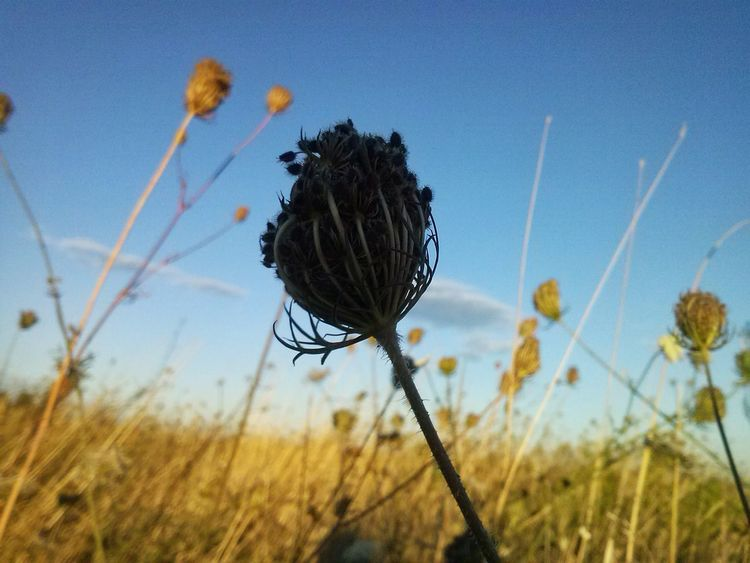Close-up Day Dry Flower  Drygrass Field Flower Flower Head Focus On Foreground Nature No People Outdoors Plant Sky Stem
