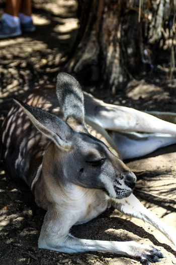 Grey kangaroo Animal Australia Cute Eastern Face Grey Hope Kangaroo Mammal Nature Portrait Pouch Skippy Wild Wildlife
