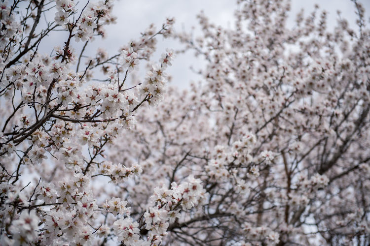 Flowering Plant Plant Flower Freshness Fragility Tree Blossom Cherry Blossom Growth Branch Nature Springtime Cherry Tree No People Outdoors Almond Tree Almond Blossom Blooming Beauty In Nature Vulnerability  Low Angle View Day White Color Close-up Flower Head Plum Blossom Spring