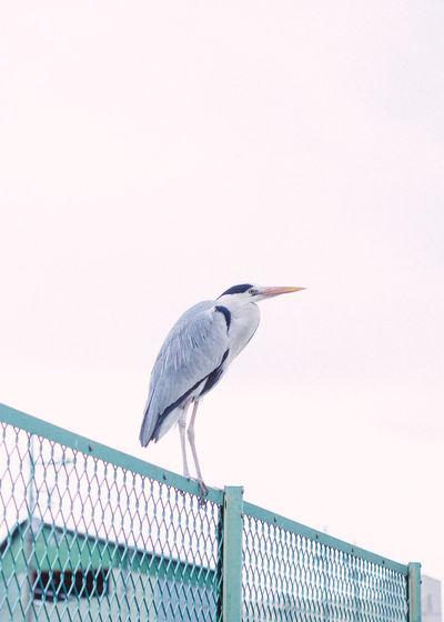 High angle view of gray heron perching on wall